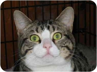 Domestic Shorthair Cat for adoption in Medway, Massachusetts - Rico