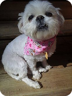 Shih Tzu Dog for adoption in Lawrenceville, Georgia - Coco
