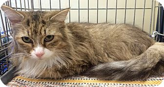 Maine Coon Cat for adoption in Rochester, Michigan - Hailey