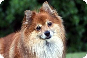 Pomeranian Dog for adoption in Dallas, Texas - Galaxy