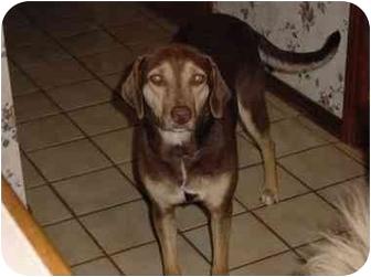 Labrador Retriever/Beagle Mix Dog for adoption in Canton, Texas - Serenity