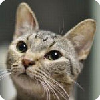 Domestic Shorthair Cat for adoption in Medford, Massachusetts - Dasha
