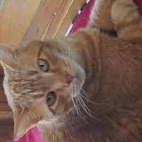 Domestic Mediumhair Cat for adoption in Idyllwild, California - George