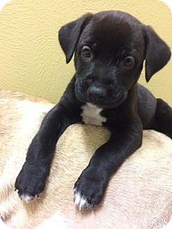 Labrador Retriever/Shepherd (Unknown Type) Mix Puppy for adoption in Houston, Texas - Yaki