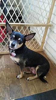 Chihuahua Dog for adoption in TAHOKA, Texas - LATINA( the ballerina)