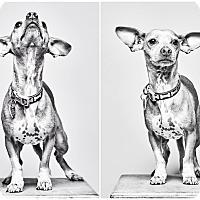 Adopt A Pet :: Leonardo - Van Nuys, CA