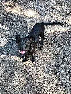 German Shepherd Dog/Border Collie Mix Puppy for adoption in HARRISBURG, Pennsylvania - BIANCA