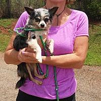 Adopt A Pet :: Long Haired Chihuahua - Thomaston, GA