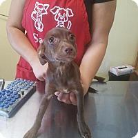 Adopt A Pet :: Judy - Chico, CA