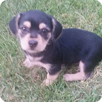 Terrier (Unknown Type, Small) Mix Puppy for adoption in Columbia, Maryland - Kobe