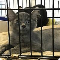 Domestic Mediumhair Kitten for adoption in Fallbrook, California - Carmel