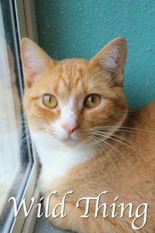 Domestic Shorthair/Domestic Shorthair Mix Cat for adoption in Bradenton, Florida - Wild Thing