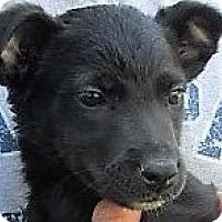 Adopt A Pet :: Merak - Germantown, MD