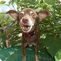 Chihuahua Mix Dog for adoption in Wilmington, Delaware - Chicklet