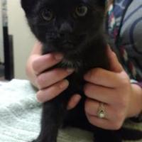Adopt A Pet :: Frisky - Merriam, KS