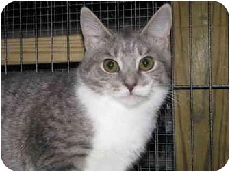 Domestic Shorthair Cat for adoption in Monroe, Georgia - Bria