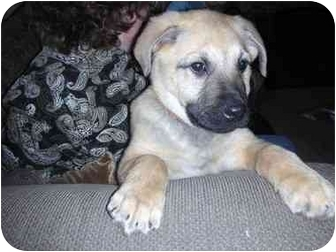 Labrador Retriever/Shepherd (Unknown Type) Mix Puppy for adoption in Naperville, Illinois - Gracie