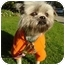 Photo 4 - Shih Tzu Mix Dog for adoption in Los Angeles, California - Jingle