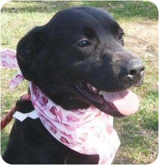 Labrador Retriever Mix Dog for adoption in kennebunkport, Maine - Juno - in Maine!