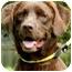 Photo 1 - Labrador Retriever Dog for adoption in Wakefield, Rhode Island - LUANNE