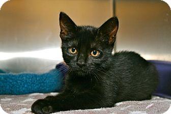 Domestic Shorthair Kitten for adoption in Coronado, California - Waffles