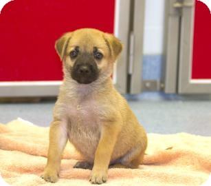 Chow Chow/Labrador Retriever Mix Puppy for adoption in Gainesville, Florida - Prisma