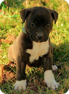 Boxer/Terrier (Unknown Type, Medium) Mix Puppy for adoption in Allentown, Pennsylvania - Carleigh