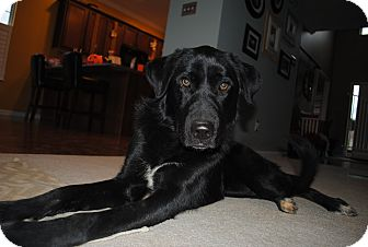 Labrador Retriever/Great Pyrenees Mix Dog for adoption in Knoxvillle, Tennessee - Dorothy