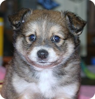 pomeranian mini australian shepherd mix for sale matteo adopted puppy santa ana ca pomeranian 6233