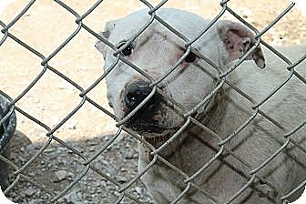 American Staffordshire Terrier Dog for adoption in Baxter, Tennessee - Laine