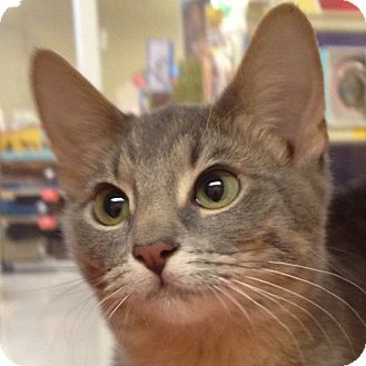 Domestic Shorthair Kitten for adoption in Weatherford, Texas - Molly