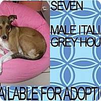 Adopt A Pet :: SEVEN - Hollywood, FL