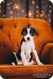 Anatolian Shepherd/Border Collie Mix Puppy for adoption in Portland, Oregon - Polka Dot