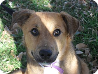 Shepherd (Unknown Type) Mix Puppy for adoption in Fort Lupton, Colorado - Bridit
