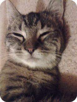 Domestic Shorthair Cat for adoption in Marietta, Georgia - Crystal