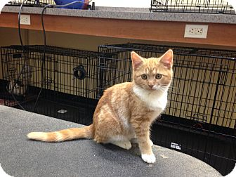 Domestic Shorthair Kitten for adoption in Edgewater, New Jersey - Nemo