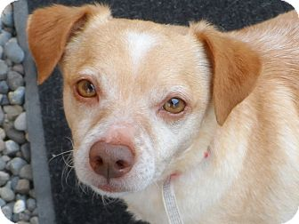 Terrier (Unknown Type, Small)/Dachshund Mix Dog for adoption in Snohomish, Washington - Red - Sweetest little buddy