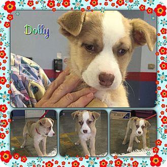 Labrador Retriever Mix Puppy for adoption in Foster, Rhode Island - Dolly (POM-EC)