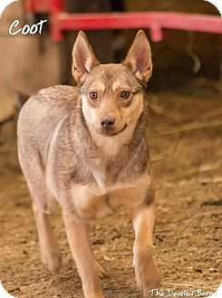 Pharaoh Hound Dog for adoption in Coldwater, Michigan - Coot - IN TRAINING