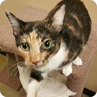 Calico Cat for adoption in McDonough, Georgia - Esmae
