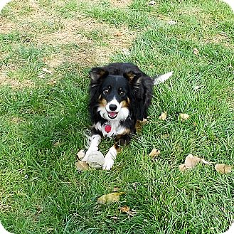Border Collie Dog for adoption in Nampa, Idaho - ELLIE