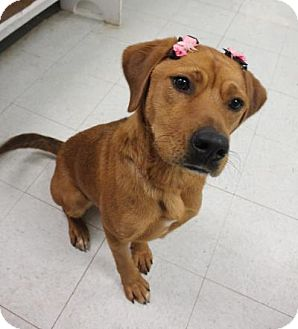 Rhodesian Ridgeback/Vizsla Mix Dog for adoption in Yukon, Oklahoma - Oggie