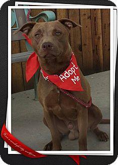 Vizsla Mix Dog for adoption in Apache Junction, Arizona - Maddox
