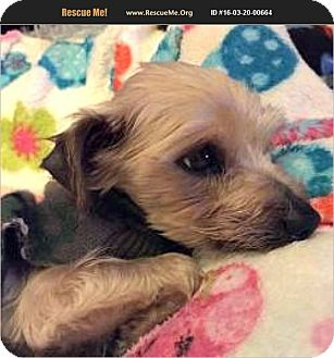 Yorkie, Yorkshire Terrier Dog for adoption in Canton, Illinois - Lucky Eddie