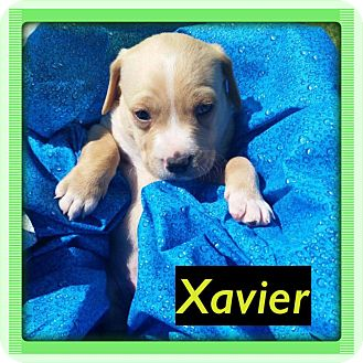 Labrador Retriever/Boxer Mix Puppy for adoption in waterbury, Connecticut - Xavier