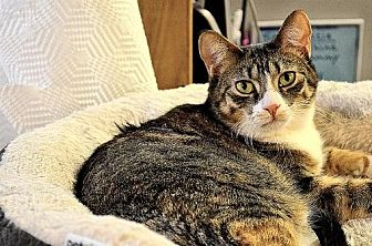 Domestic Shorthair Cat for adoption in Milwaukee, Wisconsin - Whispurr