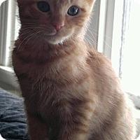 Adopt A Pet :: Cupid - Manchester, CT
