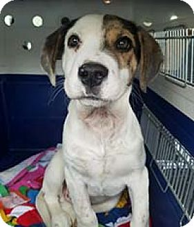 Hound (Unknown Type) Mix Dog for adoption in Chantilly, Virginia - Roscoe