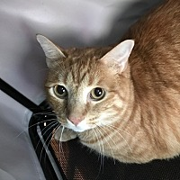 Domestic Shorthair Cat for adoption in Grand Junction, Colorado - Luke
