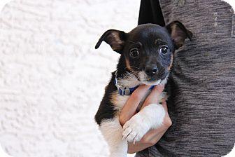 Jack Russell Terrier/Australian Cattle Dog Mix Puppy for adoption in Phoenix, Arizona - Robin